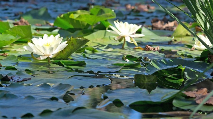 Dissolved oxygen - Aquatic plants